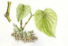 racine kava produits naturels anxiété