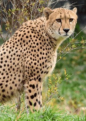 guepard crise d'angoisse