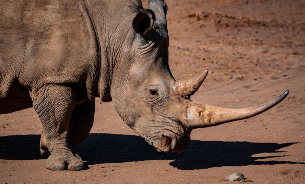rhinoceros peur
